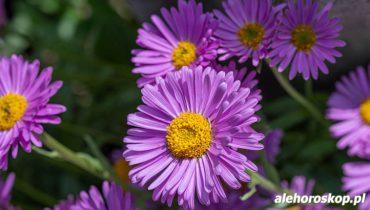 horoskop kwiatowy aster