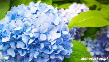 horoskop kwiatowy hortensja