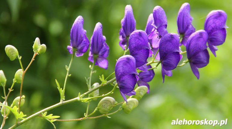 horoskop kwiatowy tojad
